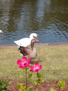 NCHS duck pond 17